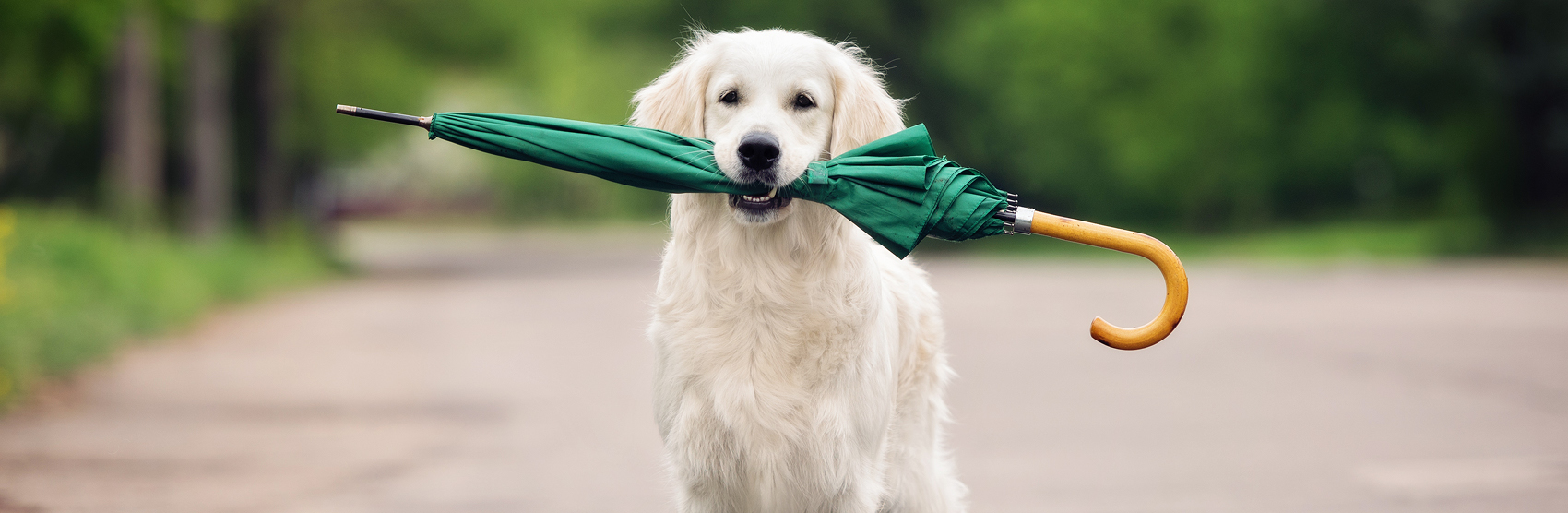 White dog holding a green umbrella